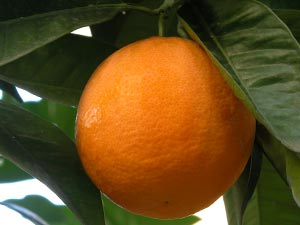 How to grow oranges in WA