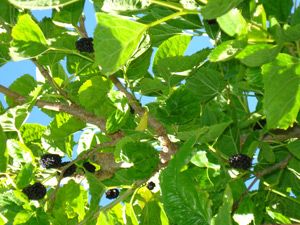 How to grow mulberries