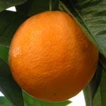 How to grow oranges