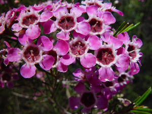 Geraldton Wax Plant Flowers