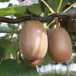 Grow kiwi fruit in Perth WA
