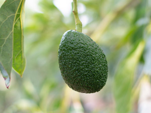 Growing avocados in Perth