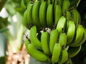 Growing bananas in Perth