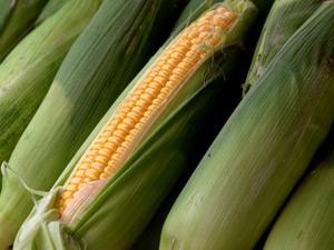 Growing corn in Perth