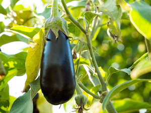 Growing eggplant in Perth