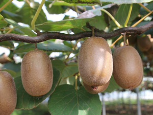 Growing kiwi fruit in Perth