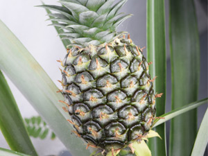 Growing pineapples in Perth