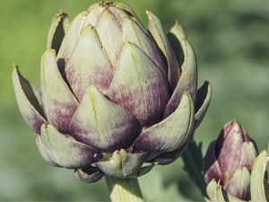 How to grow artichokes in Perth