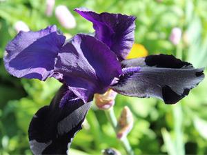 How to grow bearded iris in Australia