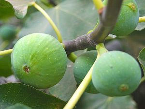 How to grow figs in Perth