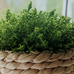 Grow oregano in Perth