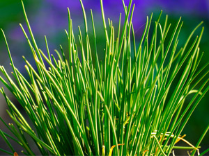 Growing chives in Perth