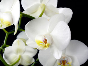 Growing orchids in Perth