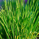 How to grow chives in Perth