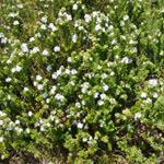 Australian native hedging plants