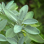 How to grow sage in Perth