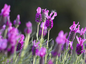 Growing French lavender