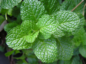Growing mint in Perth