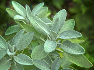 Growing sage in Perth