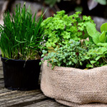 How to grow herbs in Perth