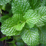 How to grow mint in Perth
