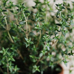 Grow thyme in Perth