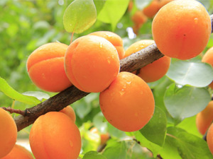 Growing apricot trees in Australia