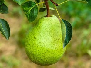 Growing pears in Australia