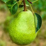 How to grow pears in Perth